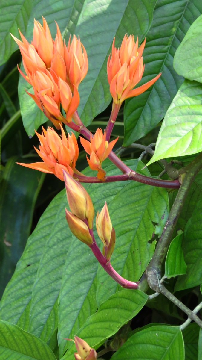 I'm not sure of this flower, but they reminded me of small flames peeking through the foliage.