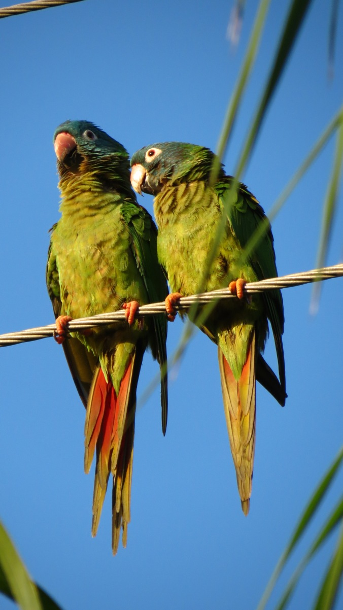 Parrots on a wire.