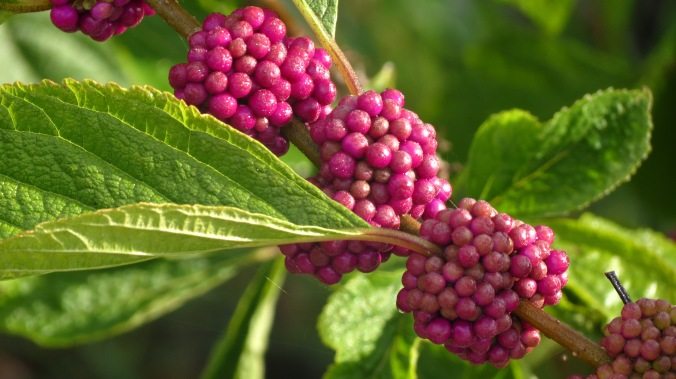 American Beautyberry, Callicarpa americana.