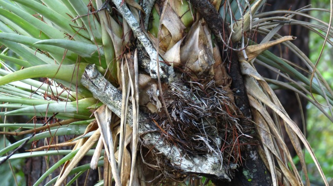 A bromeliad, an air plant, has a home in the branches of a decaying tree.