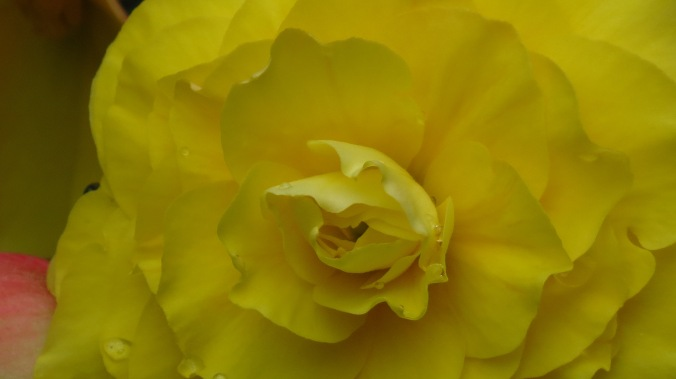 Tuberous begonia.
