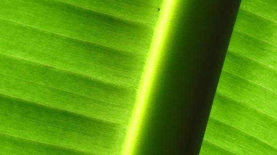 Banana Leaf.