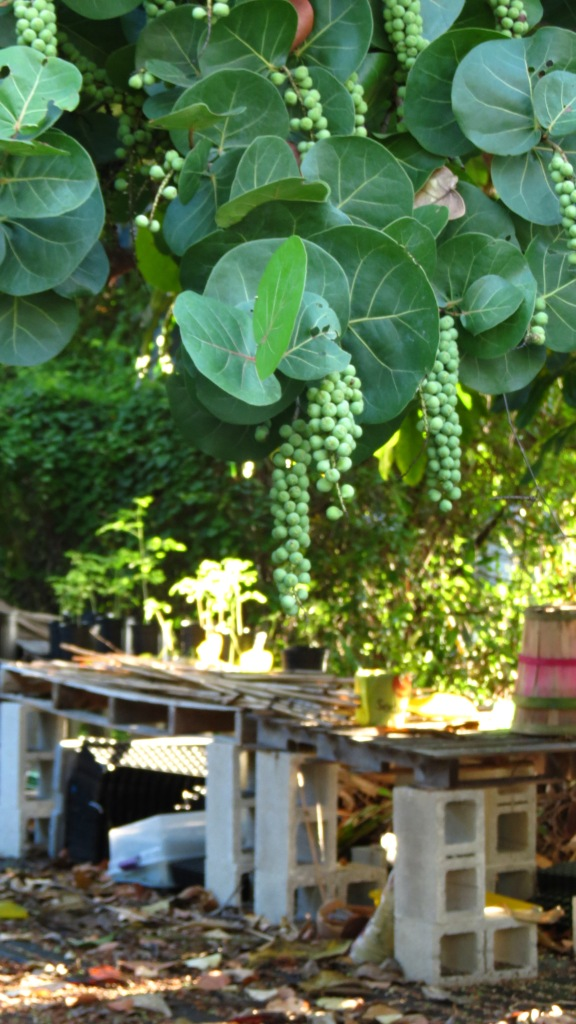 Sea grapes the size of trees shade the potting area.