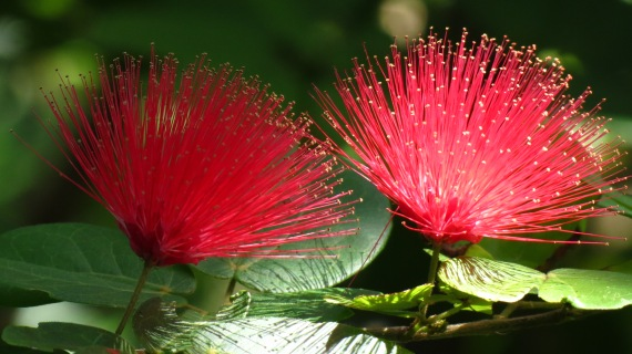 The blooms of the aptly named Powder Puff Tree.
