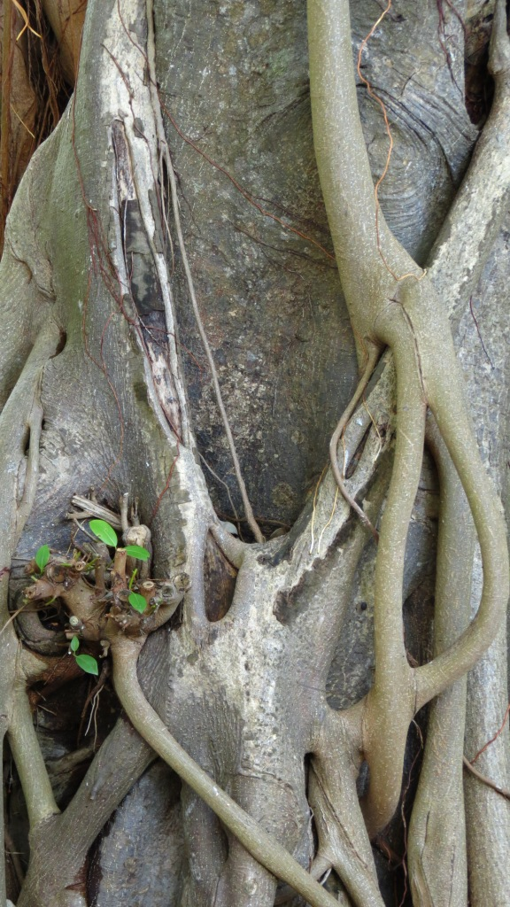 The Strangler Fig, so named because the seeds germinate in the canopy of neighboring trees.    Once its roots reach the ground, it grows and strangles its host.
