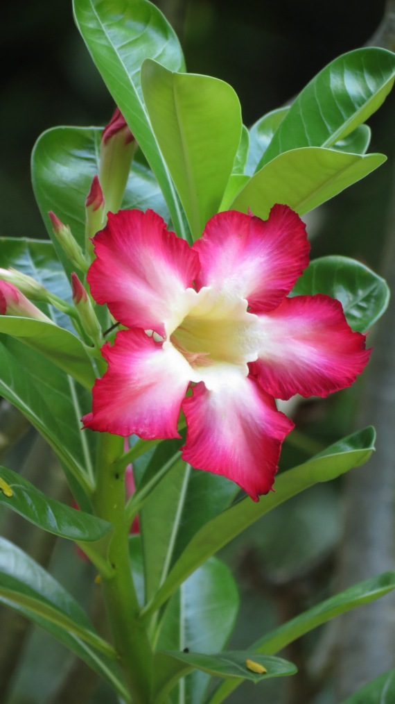 The bloom of desert rose.