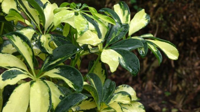 """Schefflera arboricola """"Trinette."""""""