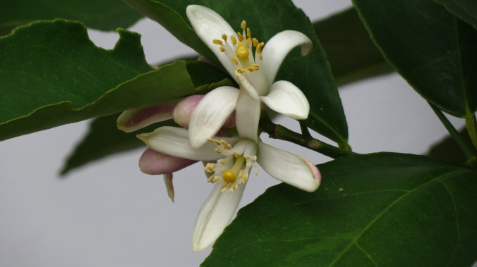 Meyer Lemon blossom.  At a moment like this, I wish the blog could be scratch and sniff.