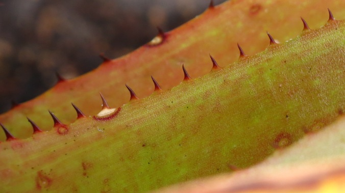 Bromeliad teeth