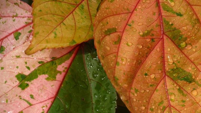 Rain on Copperleaf