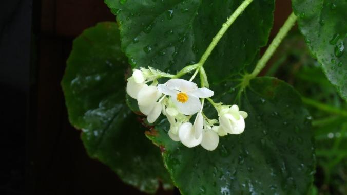 Rain on Begonia