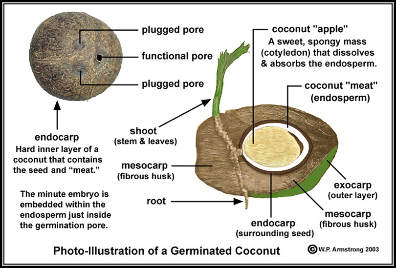 Anatomy of a Coconut | Nitty Gritty Dirt Man