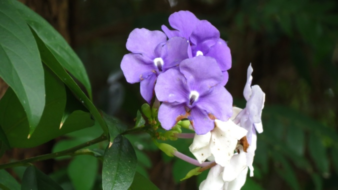 Brunfelsia pauciflora; Yesterday, Today, & Tomorrow Plant. The flowers open deep violet and then fade to white.