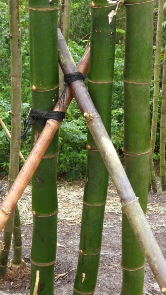 Using harvested bamboo to support growing bamboo.