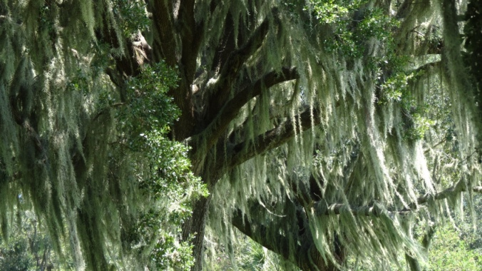 Trees draped with Spanish moss.