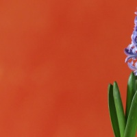 The Great Hyacinth Challenge