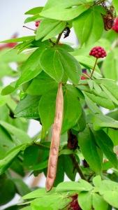 Dwarf Red Powderpuff Tree