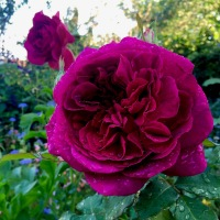 The South Floridian Who Planted A Rose And Grew An English Garden, Part 1